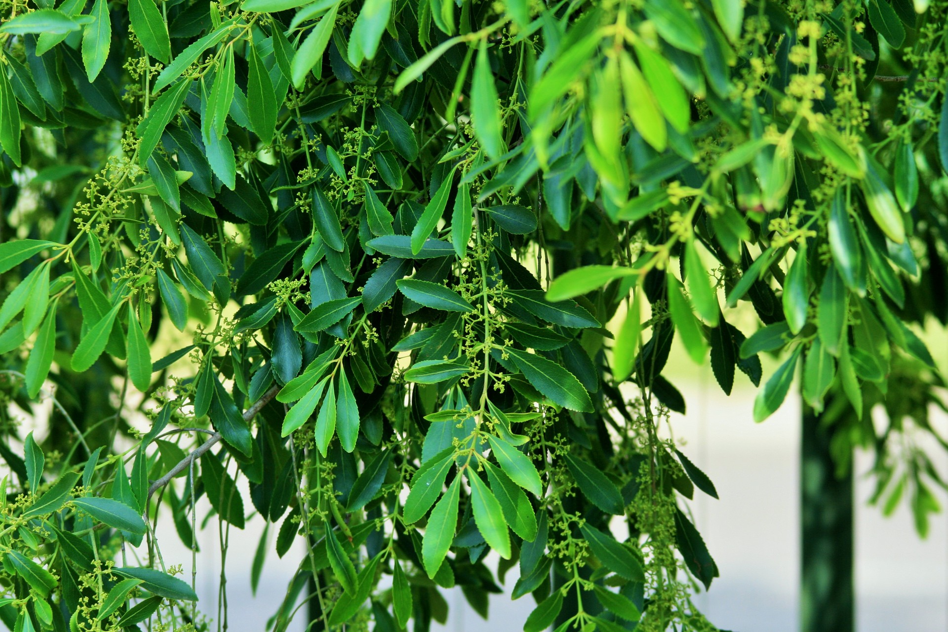 Tea Tree Foliage