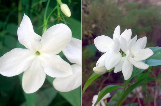 Jasminum grandifloria and Jasminum sambac